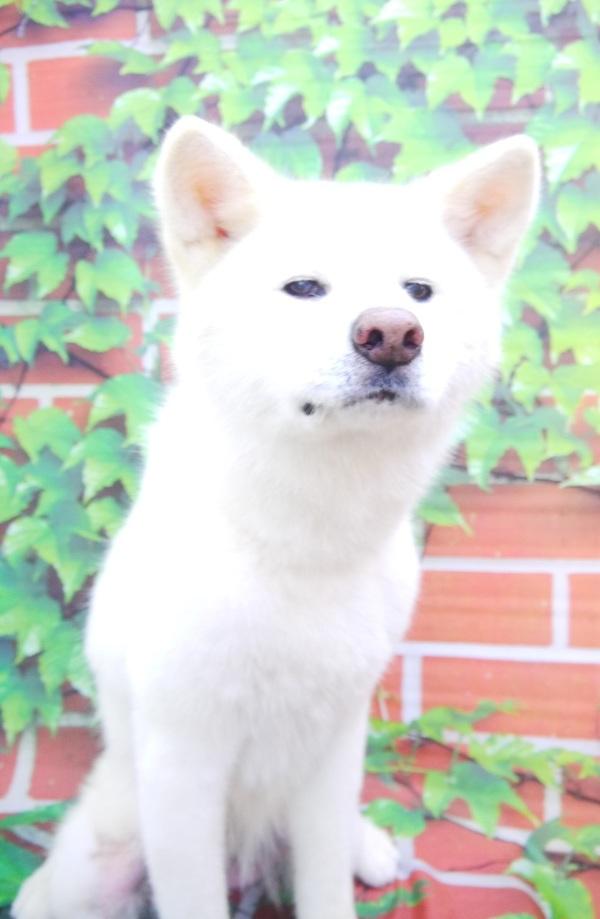 コロちゃん(秋田犬)のサムネイル